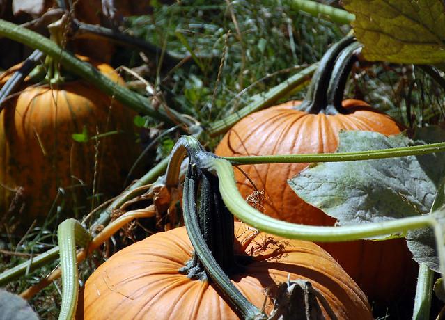230. August's Pumpkins