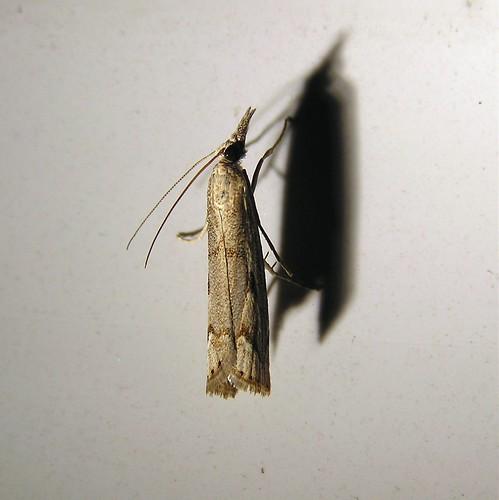 Agriphila inquinatella ou Agriphila geniculea à identifier - 04/09/12
