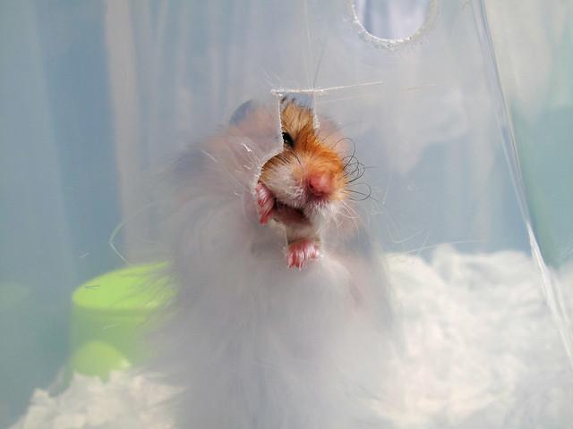 Hamster Luck