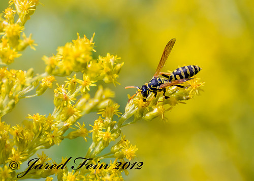 Gathering Pollen on a Goldenrod