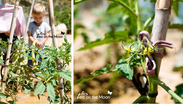 Huerto niños tomates