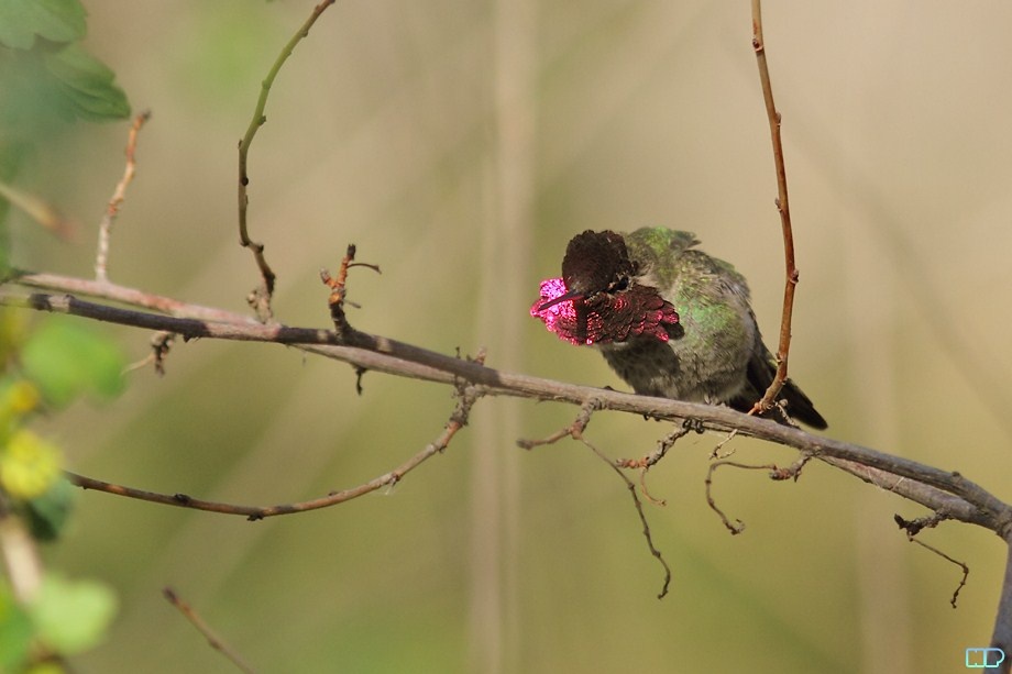 Anna's Hummingbird breeding 011812-3