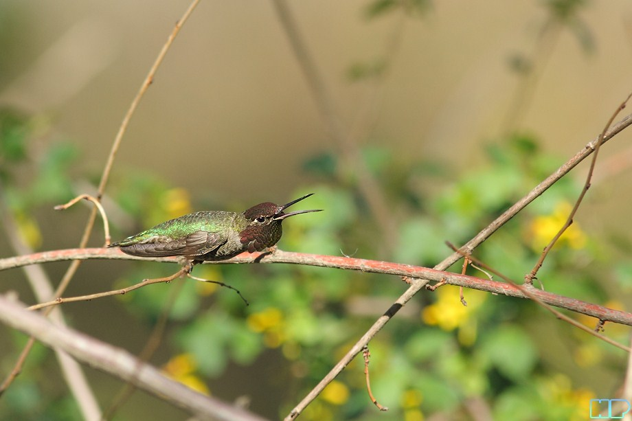 Anna's Hummingbird breeding 011812-7