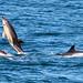 Common Dolphin (Tom Brereton)