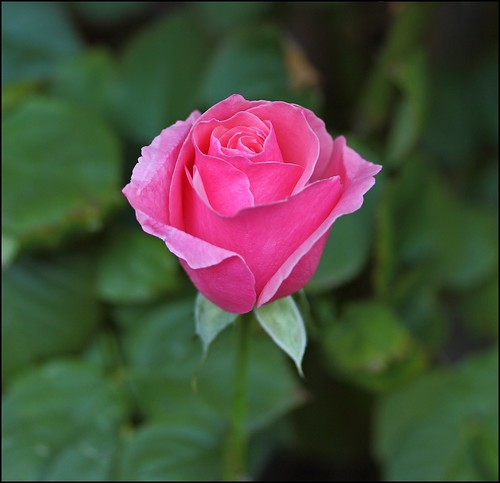 Our Daily Challenge Grow: The Challenge To Grow The Perfect Rose