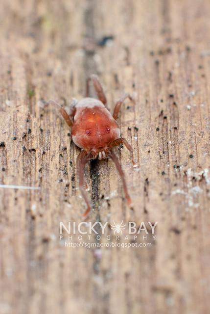 Velvet Mite (Trombidiidae) - DSC_7135