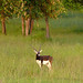 Blackbuck male, Satpura