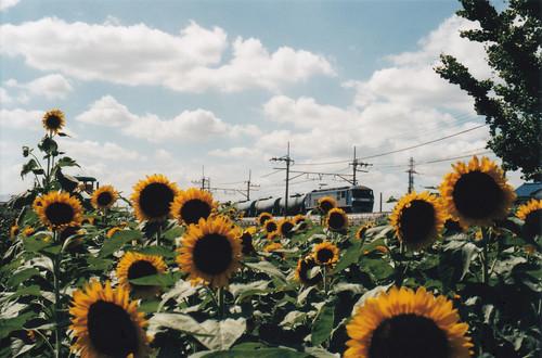 向日葵と貨物列車