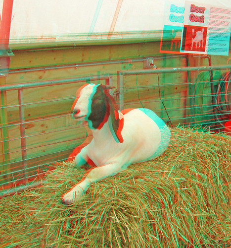 stereoscopic stereophoto 3d goat anaglyph iowa stereo spencer redcyan 3dimages 3dphoto 3dphotos 3dpictures stereopicture 2012claycountyfair
