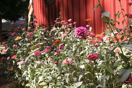 Zinnias Growing by a Barn