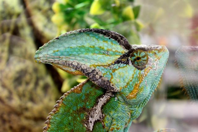 Chameleon yoga