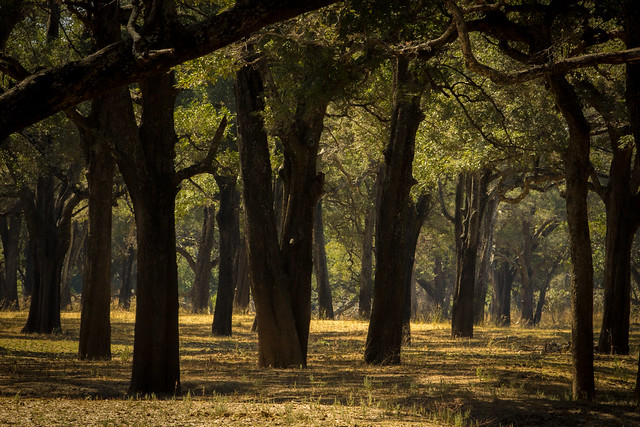 Forest - South Luangwa - Zambia