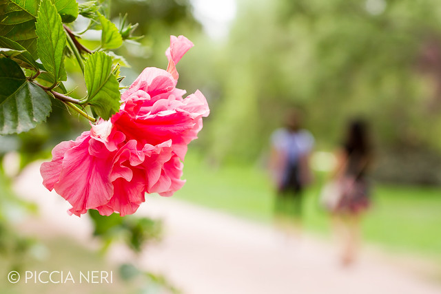A type of woody hibiscus bush with large, beautiful pink flowers with many petals._-6.jpg