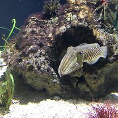 Cuttlefish at the Aquarium [220/366]