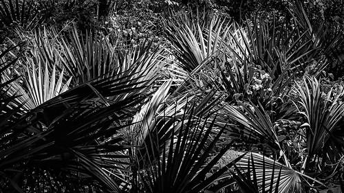 bw blackwhite blackandwhite fan fanpalm light monochrome palm plant shadow shadows silhouette sunlight woods houston texas unitedstates us