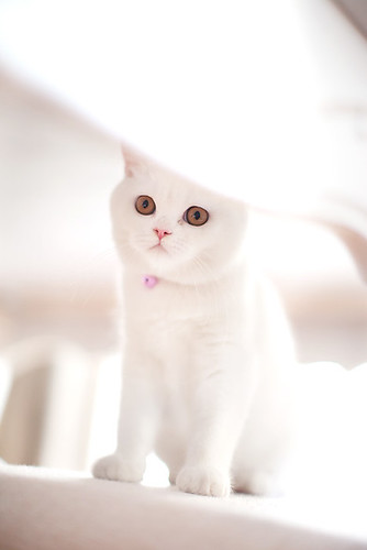 Dobus -British shorthair white cat