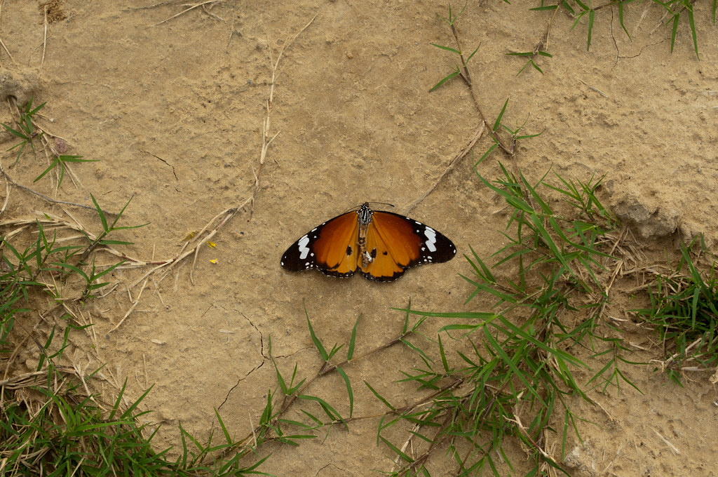 A Butterfly on the ground