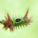 Saddleback caterpillar,  79/365