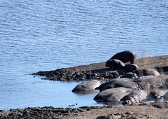 Many hippos