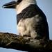 White-necked Puffbird (Josh Joshi)