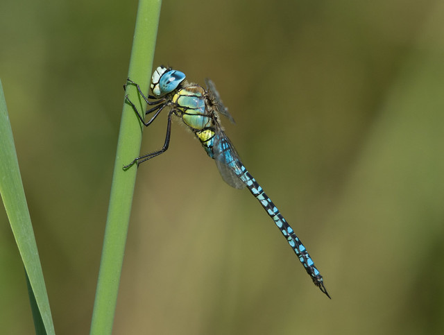 southern migrant hawker 2