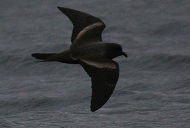 Markhams storm petrel pelagic birding with Nature Expeditions in Peru
