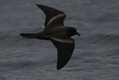 Markhams storm petrel - Pelagic birding with Nature Expeditions in Peru