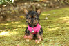 Layla Grace is a beautiful tea cup female Yorkshire Terrier