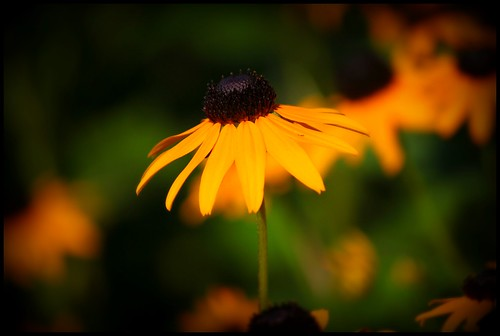 birkshire blackeyed susan.
