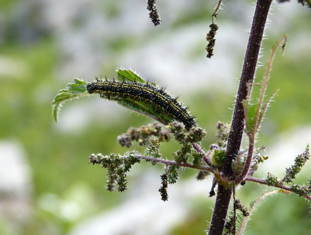 Small Tortoiseshell Caterpillar, Switzerland