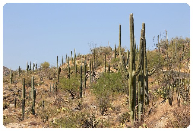 saguaros in arizona