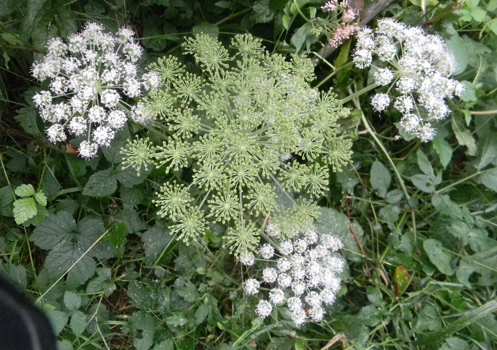 White umbellifer Petersfield to Rowlands Castle Some of these I can get but not this one.