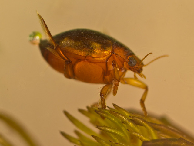 Hyphydrus ovatus diving beetle 3