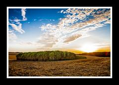 Miscanthus des plaines de Beauce