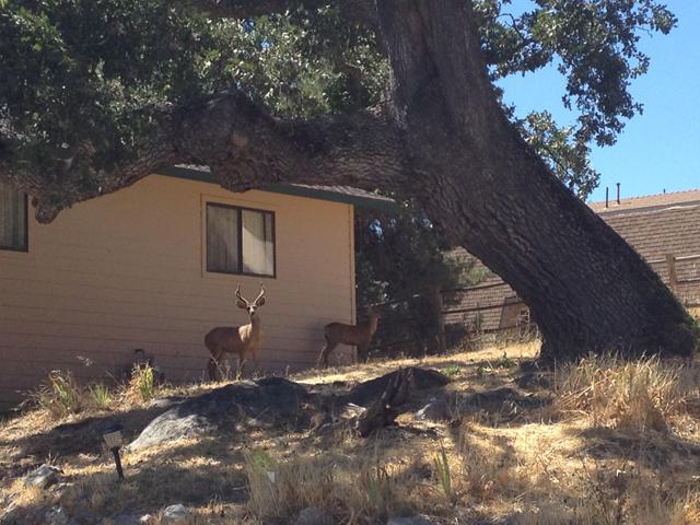 Deer at Dads