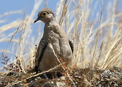 Bar-faced ground dove - Birding with Nature Expeditions in Peru