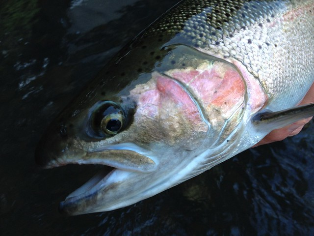 Summer Steelhead Fly Fishing