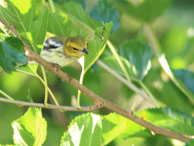 Black-throated Green Warbler 20120906