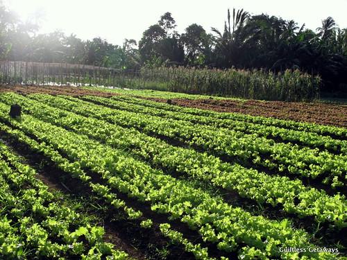 lettuce-plantation-organic-farm.jpg