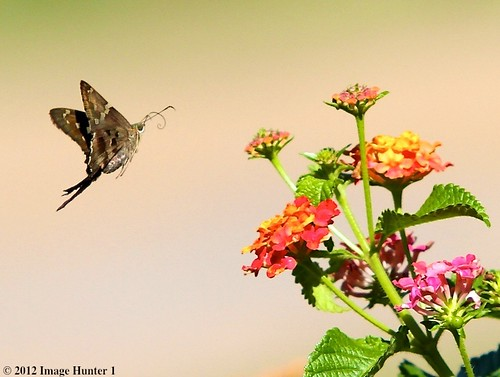 Long-tailed Skipper / Lantana- Bayou Courtableau, Louisiana