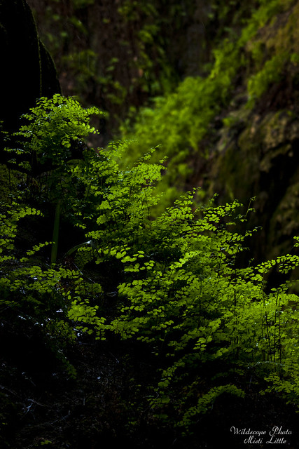 maidenhair4