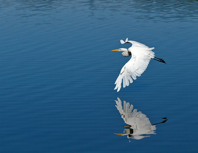 Mirrored Egret