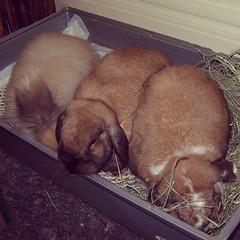 Poppée, Flore et Tibulle... dans le bac à litière.