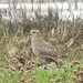 Small photo of American Golden Plover