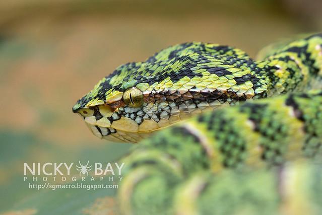 Wagler's Pit Viper (Tropidolaemus wagleri) - DSC_3858