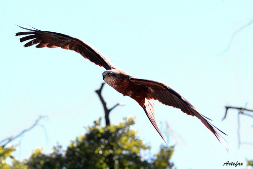 red kite (rode wouw)