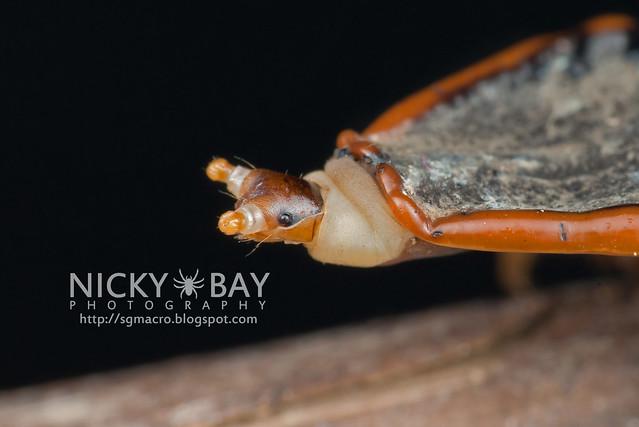 Trilobite Beetle (Platerodrilus sp.) - DSC_2028