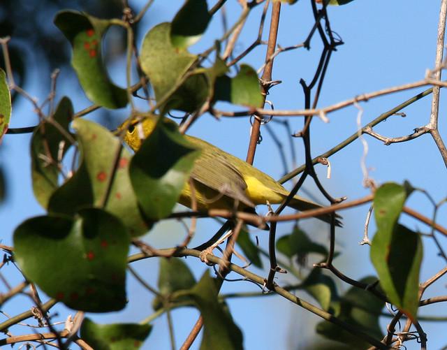Wilsons Warbler (3)