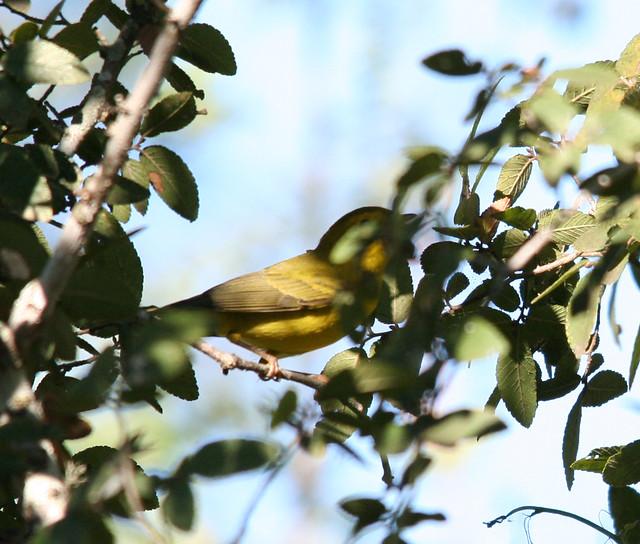Wilsons Warbler (1)