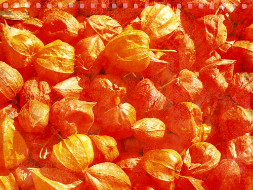 TT-physalis-orange-w